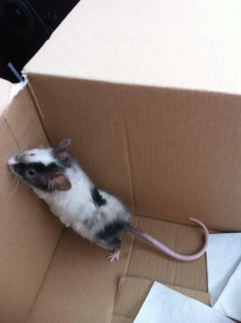 3 new mice IMG_0290