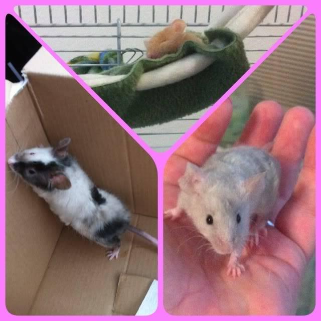3 new mice IMG_0313