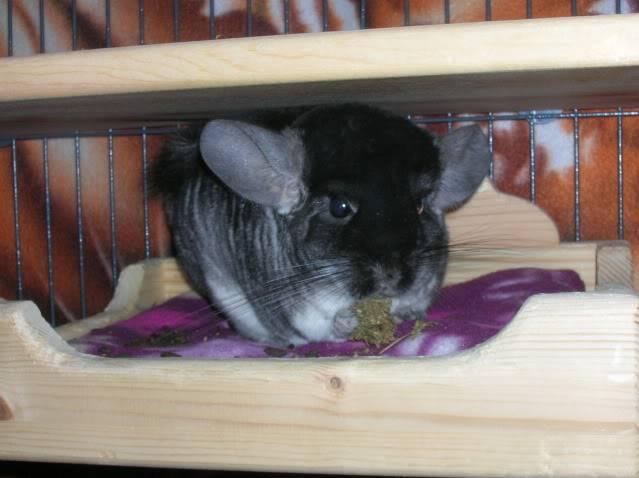 My chinchillas Monkey035