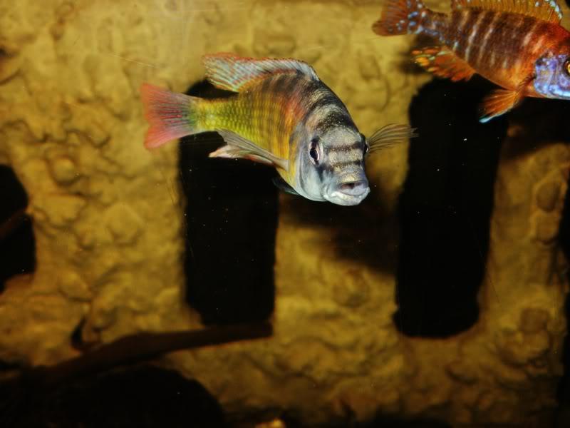 Haplochromis brownae P1190003