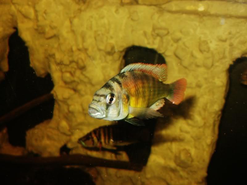 Haplochromis brownae P1190008