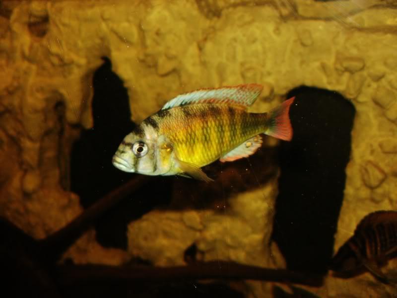 Haplochromis brownae P1190009