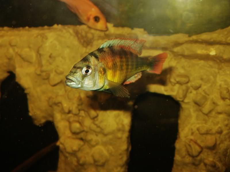 Haplochromis brownae P1190013