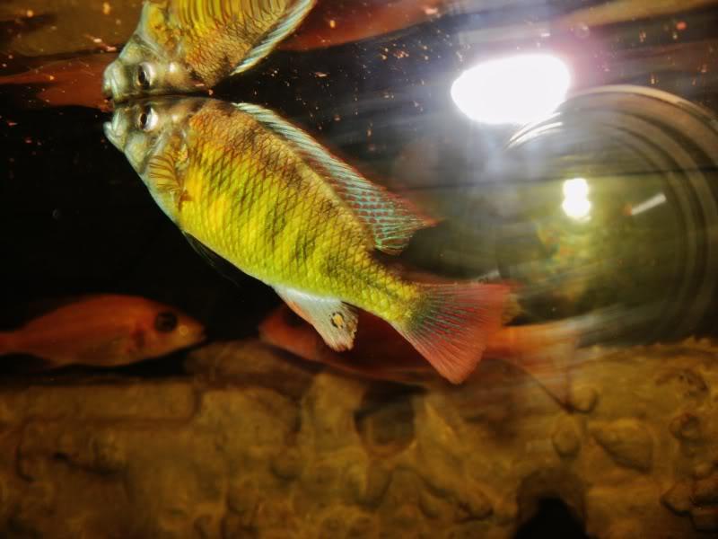 Haplochromis brownae P1190014