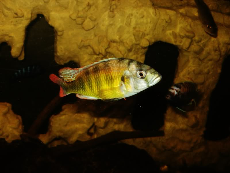 Haplochromis brownae P1190016