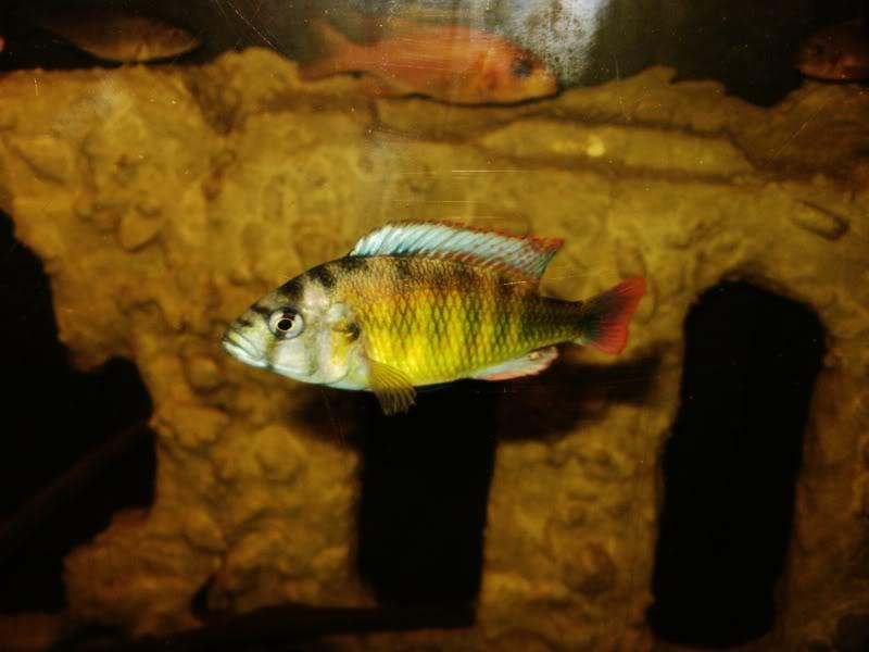 Haplochromis brownae P1190019
