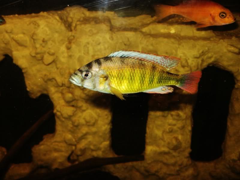 Haplochromis brownae P1190020