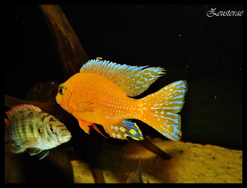 Haplochromis brownae DSCF3086-1