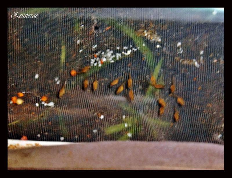 Haplochromis brownae IMG_4744800x600
