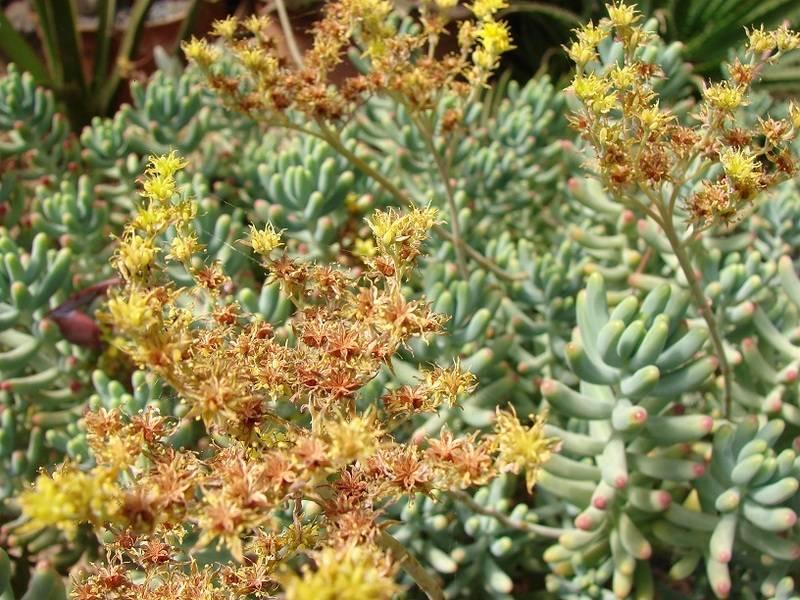 Sedum pachyphyllum et hybridationS 001%20-%20Copie_25