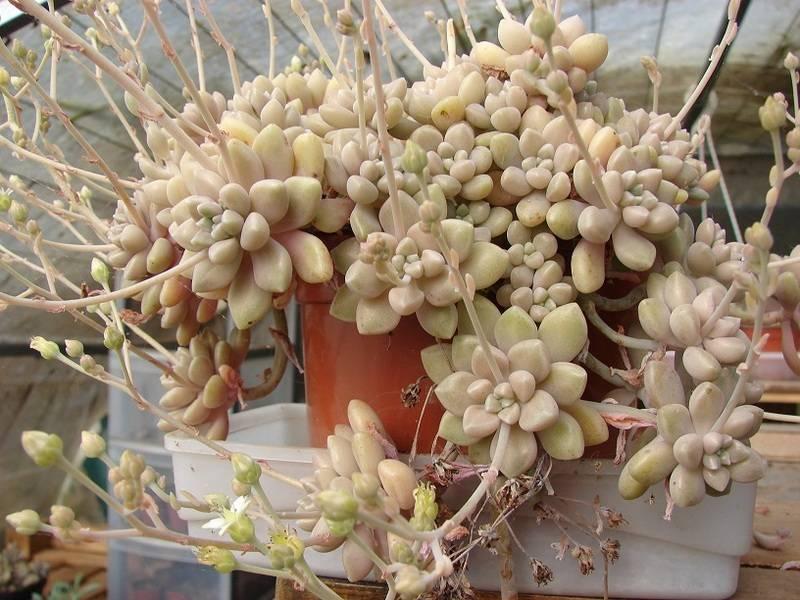 Sedum pachyphyllum et hybridationS 003%20-%20Copie_18