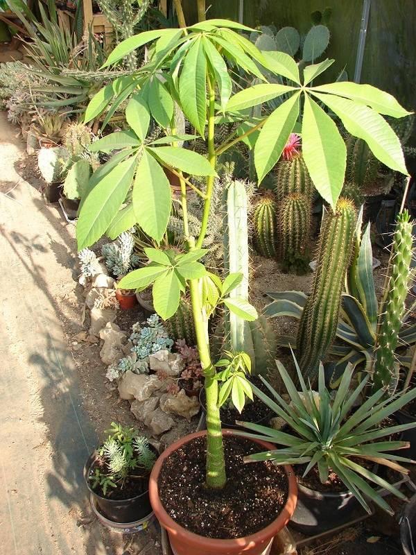 Le beau tronc de mon Chorisia speciosa  - Page 5 004%20-%20Copie_9