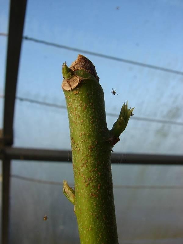 Le beau tronc de mon Chorisia speciosa  - Page 4 007%20-%20Copie_4