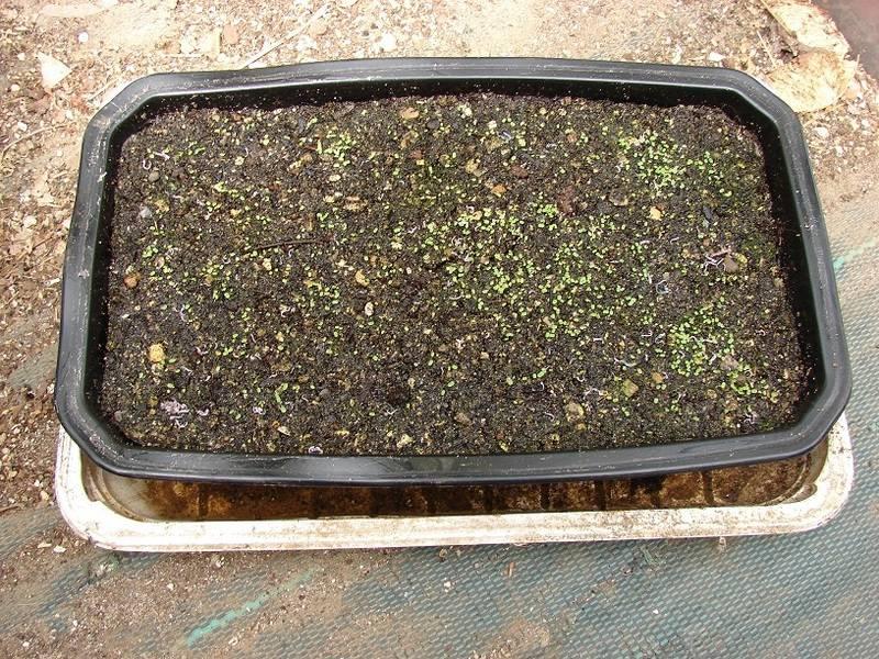 Sedum pachyphyllum et hybridationS 010%20-%20Copie_21
