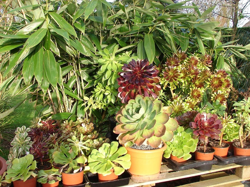 Aeonium party all the time :) - Page 4 011%20-%20Copie_10