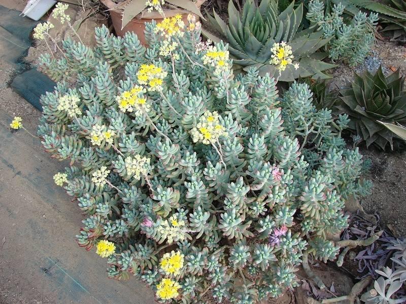 Sedum pachyphyllum et hybridationS 011%20-%20Copie_12