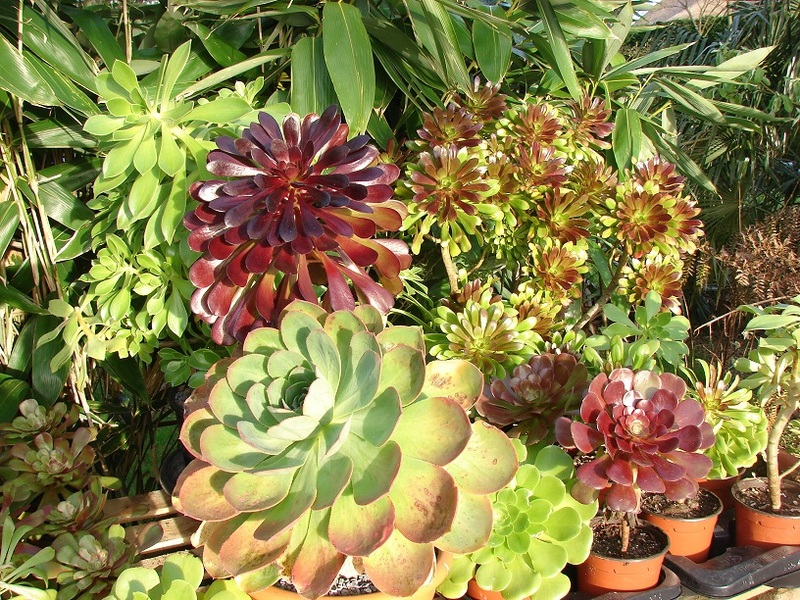 Aeonium party all the time :) - Page 4 012%20-%20Copie_8