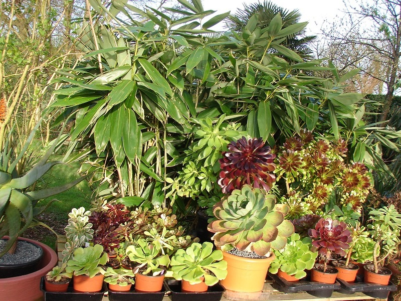 Aeonium party all the time :) - Page 4 014%20-%20Copie_8