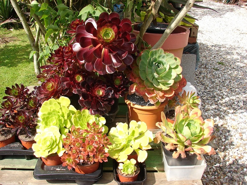 Aeonium party all the time :) - Page 4 016%20-%20Copie_10