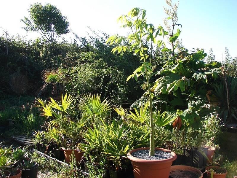 Le beau tronc de mon Chorisia speciosa  - Page 7 017%20-%20Copie_11