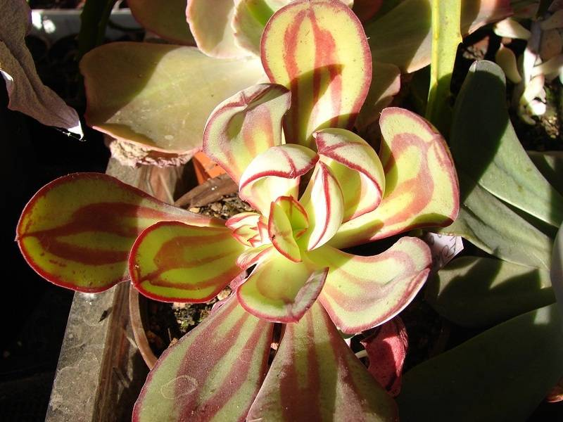 Echeveria nudulosa 018%20-%20Copie_10