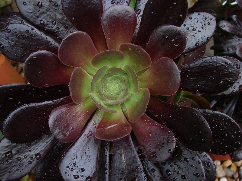 Aeonium party all the time :) 018%20-%20Copie_7