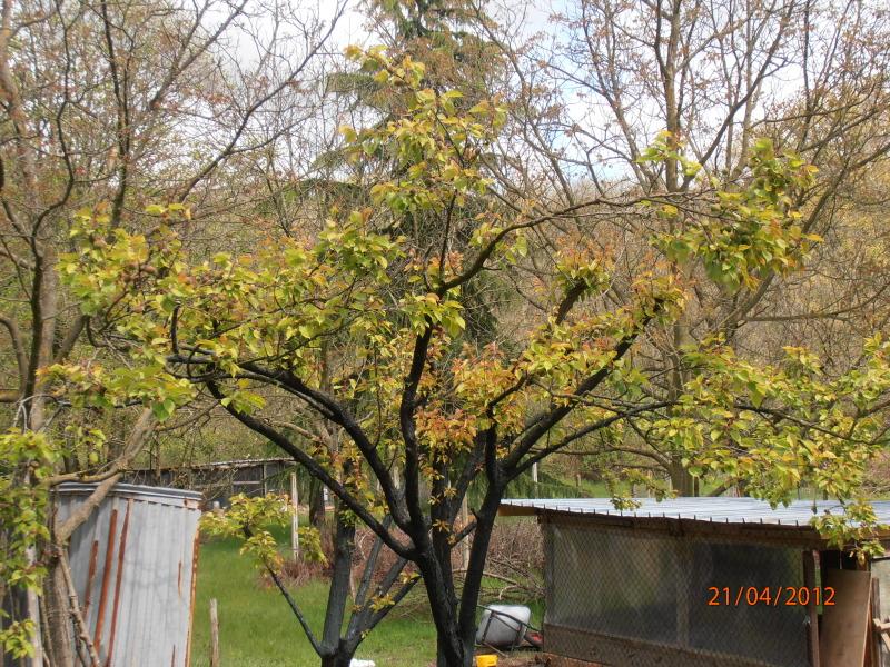 potatura albicocco P4210151