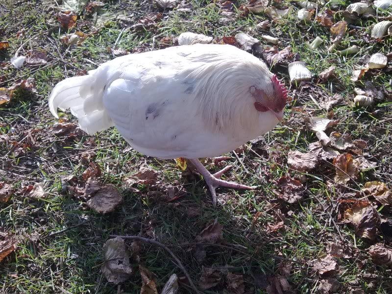 problemi pollastra: coccidiosi? 21112011467