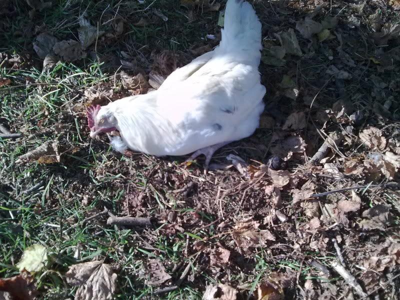 problemi pollastra: coccidiosi? 25112011495