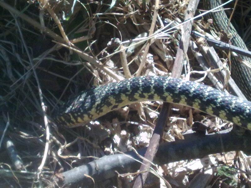 serpente misterioso 15062012892