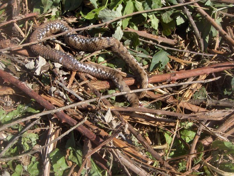 serpente misterioso HPIM3066