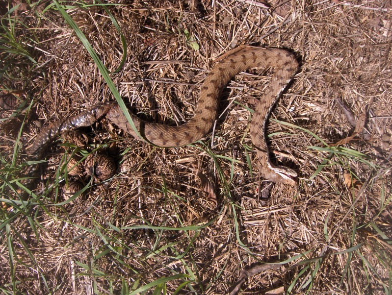 serpente misterioso HPIM3070
