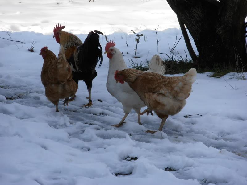 Polli e freddo P2080006