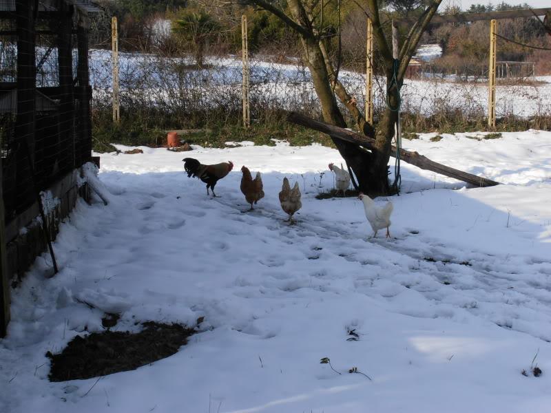Polli e freddo P2080007