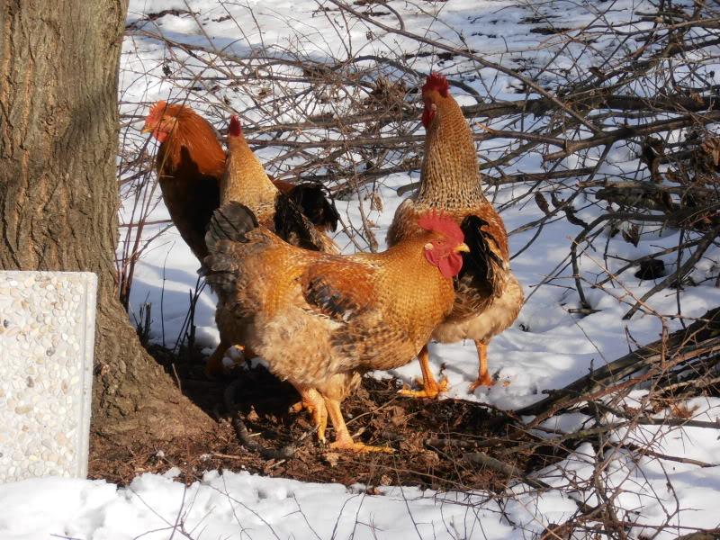 Polli e freddo P2080016
