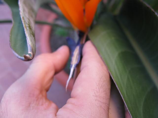 [STRELITZIA] come impollinare i fiori artificialmente e seminare. Img_0274