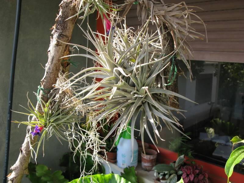 [Tillandsie]. Cura e informazioni utili su queste piante ''particolari''. Img_0307