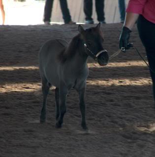 Western Australian Bucksin  Show 005-18