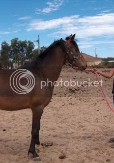 Riding Pony Mare 032-12