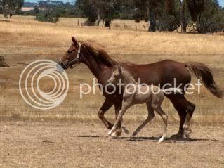 Riding Pony Mare 033-11