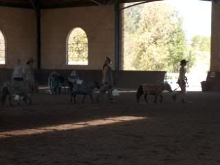 Western Australian Bucksin  Show 083-9