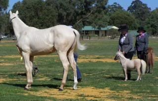 Miniature colts 2-5-1020030