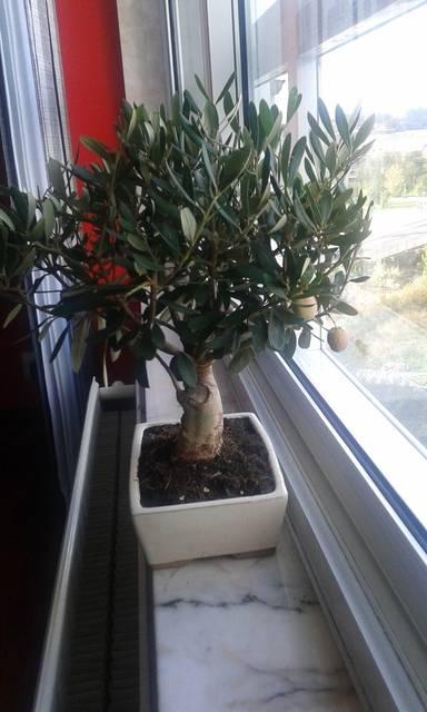 ayuda diseño de dos bonsais 145_zpsgzhpjmst