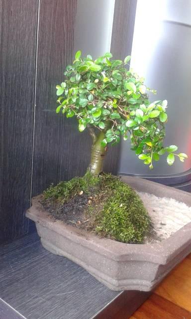 ayuda diseño de dos bonsais 149_zpsvcu6mysp