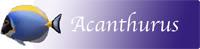 Acanthurus