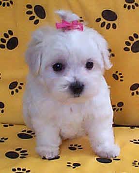 Maltezer-Maltese Maltese_puppy_04