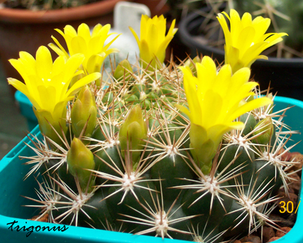 spring cacti flowers - Page 5 100_0908