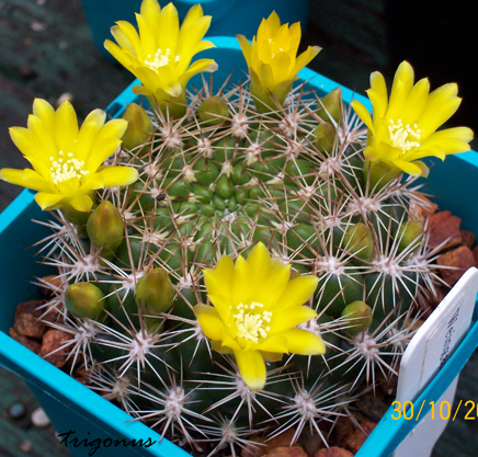 spring cacti flowers - Page 5 100_0910copy