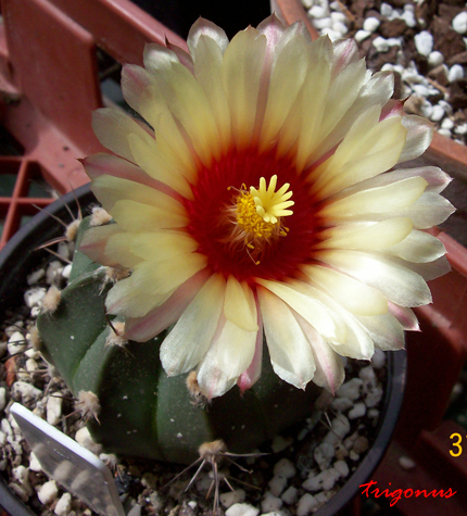 spring cacti flowers - Page 5 100_0937