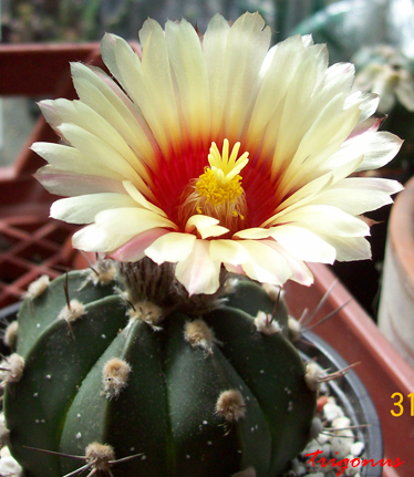 spring cacti flowers - Page 5 100_0938